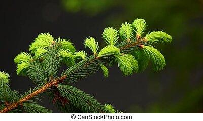 arbre sapin, branche