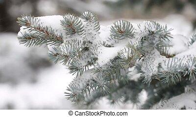 arbre sapin, hiver