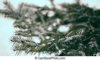 arbre sapin, neige-couvert