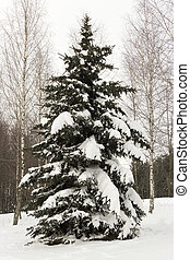 arbre sapin, solitaire, neige-couvert, forêt