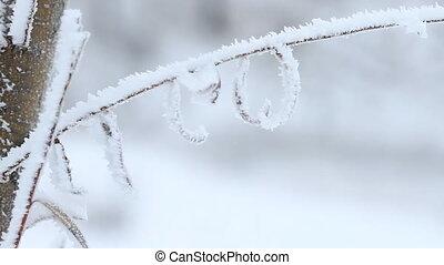 arbre saule, hiver