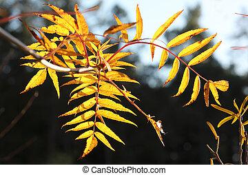 arbre saule, jaune, automne, branche, pendant