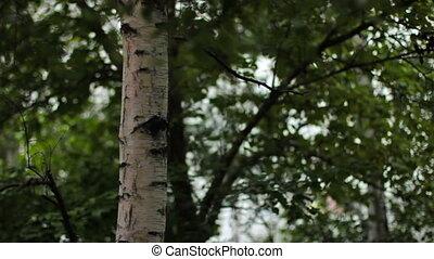 arbre, vent, sways, bouleau