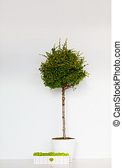 arbre vert, boîte, mur, blanc, pyracantha, mousse, devant, potted, brique