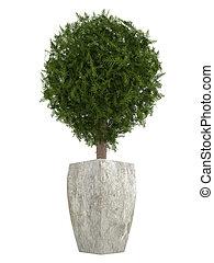 arbre vert, cyprès, topiary, arbre