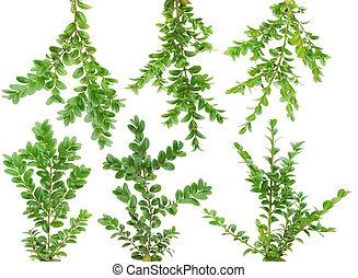 arbre vert, ensemble, branches, buis