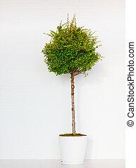arbre vert, mur, blanc, pyracantha, devant, potted, brique