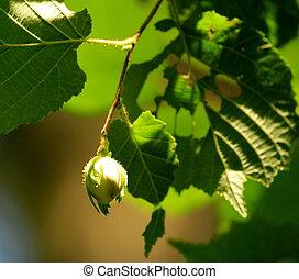 arbre vert, noisettes
