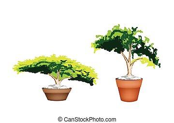 arbre vert, plante, fleurir pot, terre cuite, deux