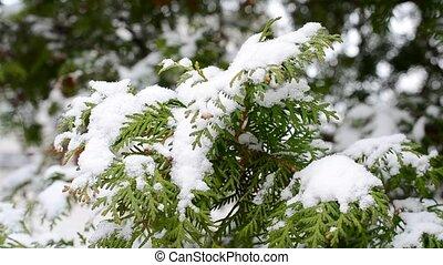 arbre vert, soufflé, neige, branche, thuja, tomber, vent