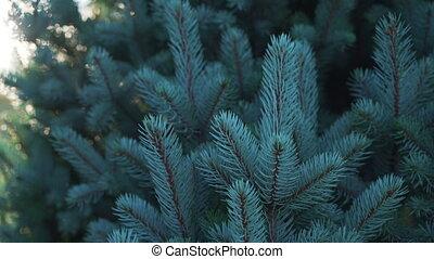 arbre, vidéo, coucher soleil, petit, poche, lumière, sapin, bleu