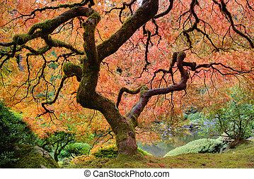 arbre, vieux, érable japonais, automne