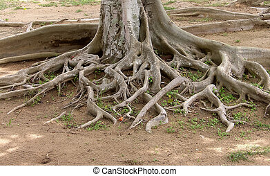 arbre, vieux, racines, grand
