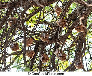 arbre, zimbabwe), chauves-souris, fruit, (hwange, parc, ...