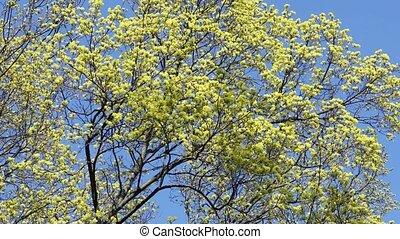 arbres bleus, fleur, printemps, ciel, fleurir