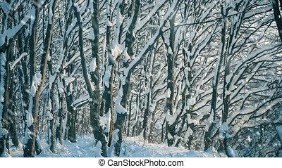 arbres, coucher soleil, forêt, chute neige