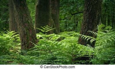 arbres, croissant, pays boisé, fougères, été