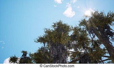 arbres, ensoleillé, animation, pin, 3d, vieux, jour
