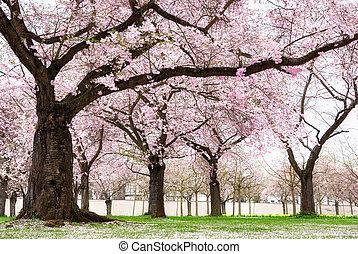 arbres, floraison, cerise, rêveur, sentir