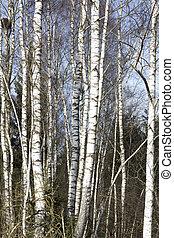 arbres hiver, bouleau