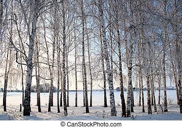 arbres, hiver, ruelle, bouleau