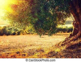 arbres., méditerranéen, arbres, plantation, olive, sunset.