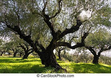 arbres, olive