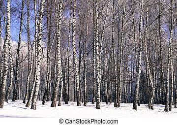 arbres, paysage hiver, bouleau