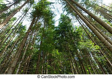 arbres pin, été, vue, forêt, sommet