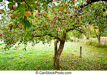 arbres, verger pomme