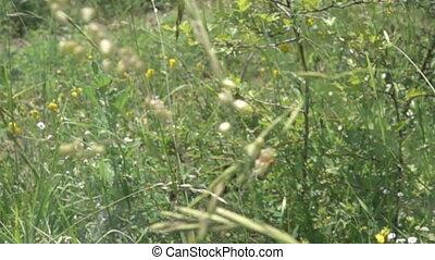 arbrisseaux, (upland, sec, meadow), pré