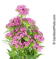 arbusto, cama, clavel rosa