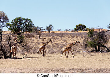 arbusto, camelopardalis, giraffa, africano
