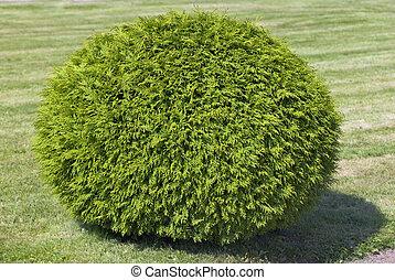 arbusto, corte, forma, esfera, ciprés