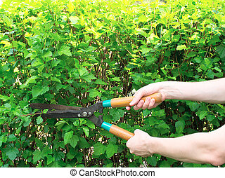 arbusto, corte, podaderas, manos