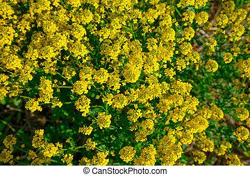 arbusto, de, flores amarillas, de, violación