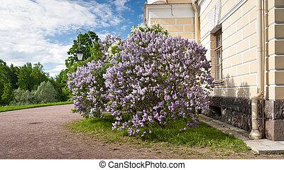 arbusto lilac, en, primavera
