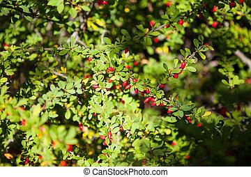 arbusto, ramita, barberry, rojo