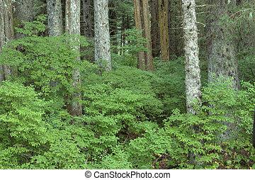 arbustos, arándano