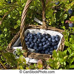 arbustos, arándanos, lleno, entre, cesta, (bilberries), ...