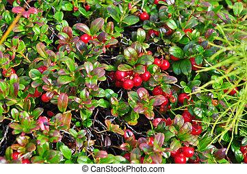 arbustos,  cowberries, maduro