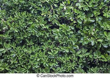arbustos, laurel, verde