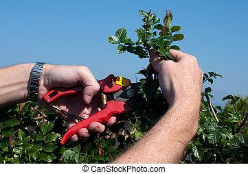 arbustos, poda