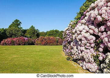arbustos, rododendro, jardín