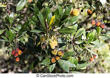 Arbutus Berry Fruit - Arbutus (arbutus unedo) are small...