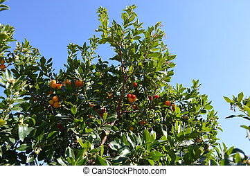 The mature, bright orange-red, fruits of the Strawberry Tree