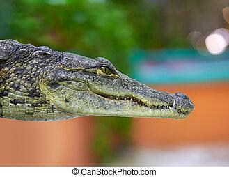 arcél, krokodil, kilátás, fiatal, mexikó
