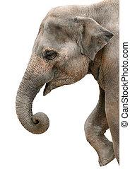 arcél, portré, boldog, elefánt