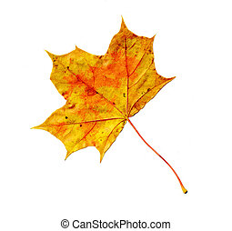 arce, hoja otoño