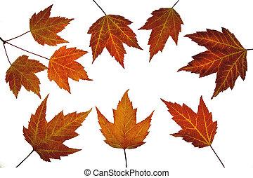 arce rojo, hojas, en, otoño